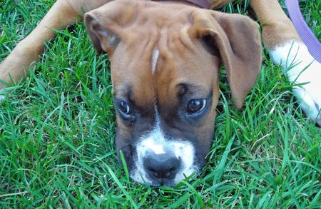 Tyson the Boxer Pictures 106347