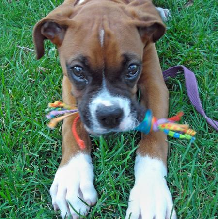 Tyson the Boxer Pictures 106346