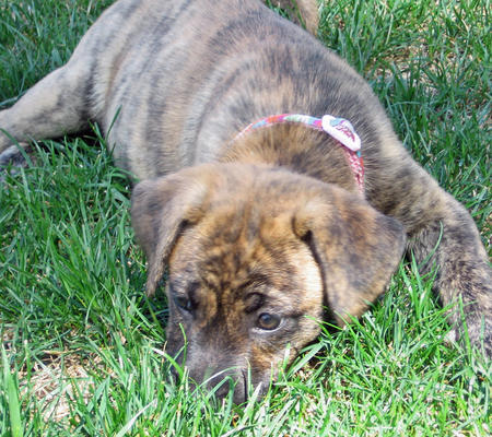 Tiger Lilly the Boxer / Mastiff Mix Pictures 107507