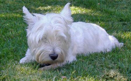 Fergie the Westie  Pictures 128403