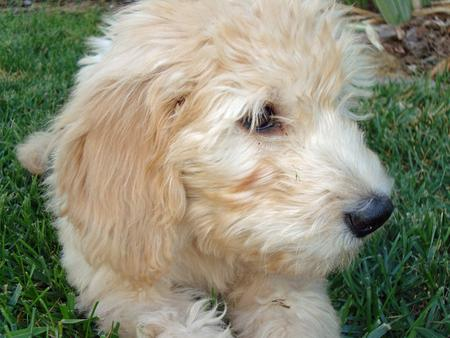 Sir Gordon the Mini Goldendoodle  Pictures 215481