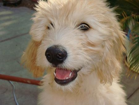 Sir Gordon the Mini Goldendoodle  Pictures 215479