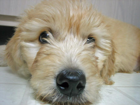 Sir Gordon the Mini Goldendoodle  Pictures 215475