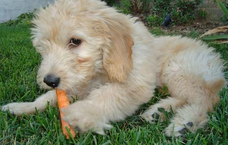 Sir Gordon the Mini Goldendoodle  Pictures 215476