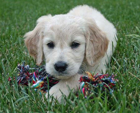 Cooper the Goldendoodle Pictures 159901