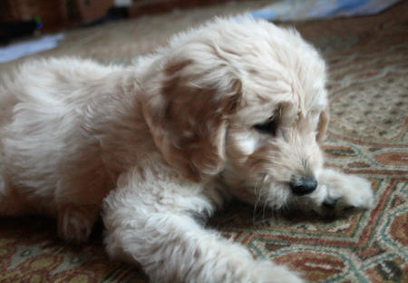 Lily the Goldendoodle Pictures 166183