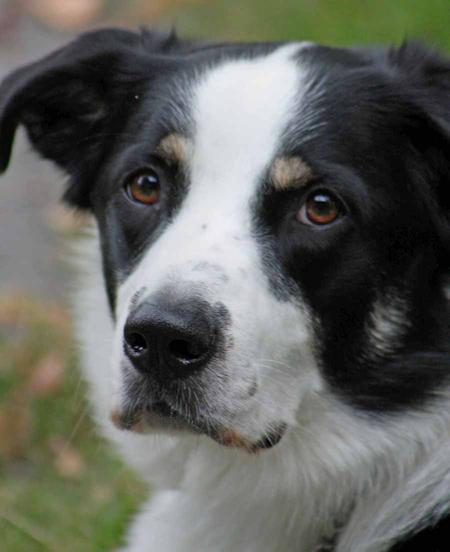 Maxx the Border Collie Mix Pictures 127617
