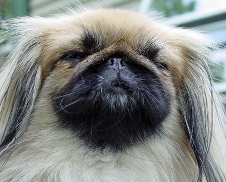 Ku the Pekingese Pictures 114780