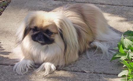 Ku the Pekingese Pictures 114779
