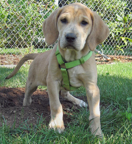 Bindi the Plott Hound / Labrador mix Pictures 119428
