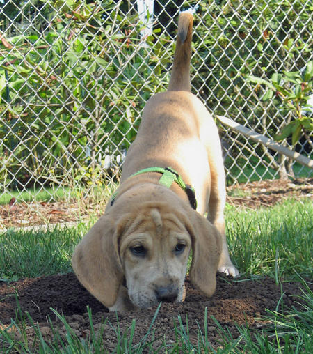 Bindi the Plott Hound / Labrador mix Pictures 119427