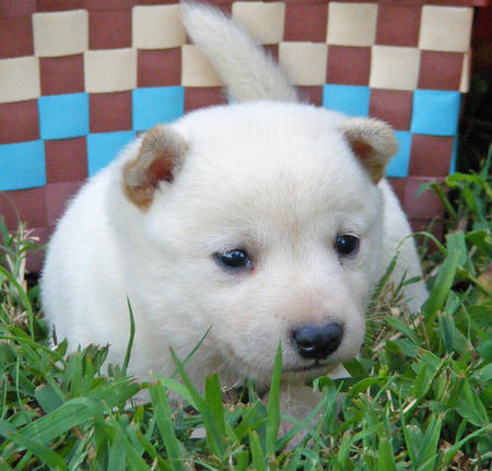 Sake the Shiba Inu Pictures 128814