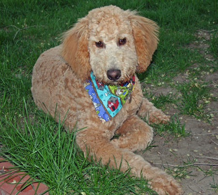 Harley the Labradoodle Pictures 116782