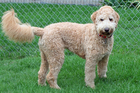 Harley the Labradoodle Pictures 116786