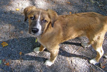 Obi the Australian Shepherd Mix Pictures 201622