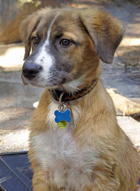 Australian Shepherd And Chocolate Lab Mix Images & Pictures - Becuo