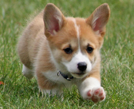Cricket the Corgi Pictures 117207