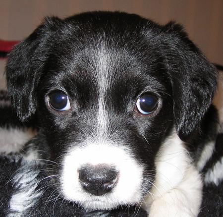 Aki the Border Collie Beagle mix Pictures 12506
