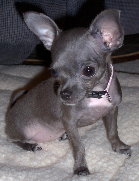 Arwen the Chihuahua Pictures 11755