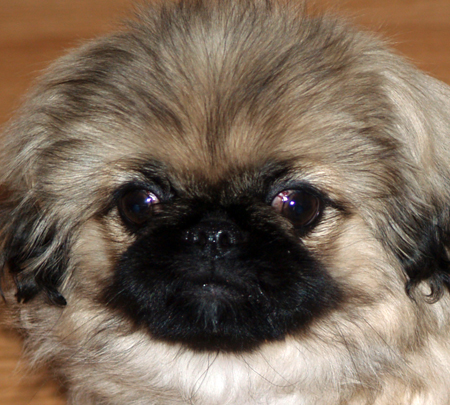 Asia the Pekingese Pictures 11856