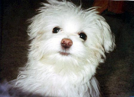 Baby the Maltese Pictures 162