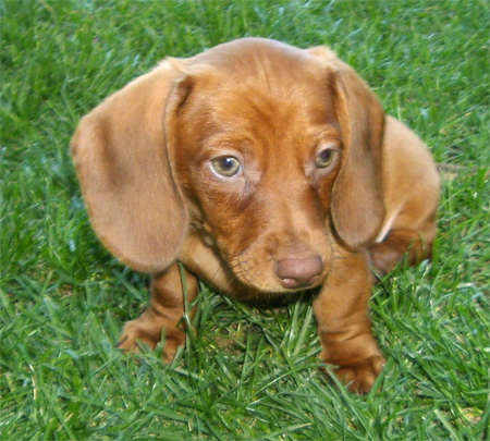 Basso the Mini Dachshund Pictures 11141