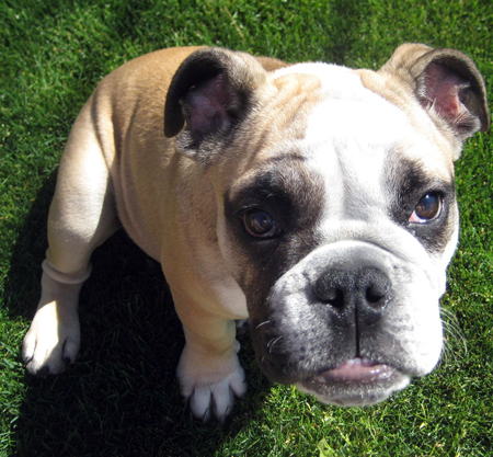 Bowdoin the English Bulldog Pictures 12265