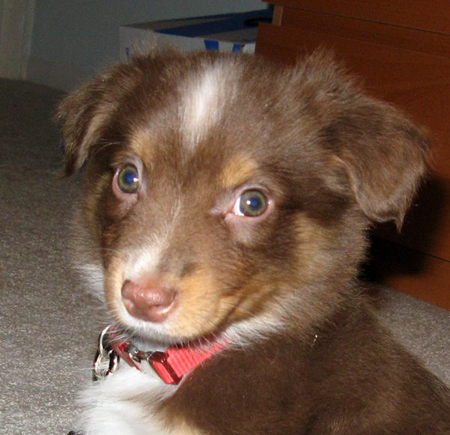 Chewie the Miniature Australian Shepherd Pictures 11824