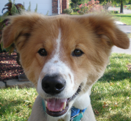 Clancy the Border Collie/Chow Mix Pictures 12324