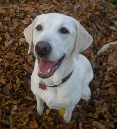 Cooper the Labrador Retreiver Pictures 11343