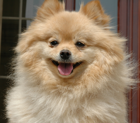 Cooper the Pomeranian Pictures 12559