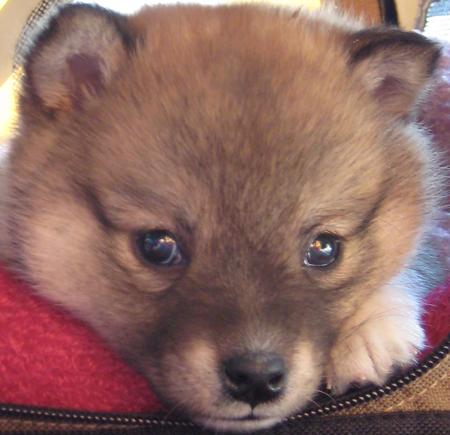 Denali the half Shiba Inu/ half Mini American-Eskimo Pictures 11323