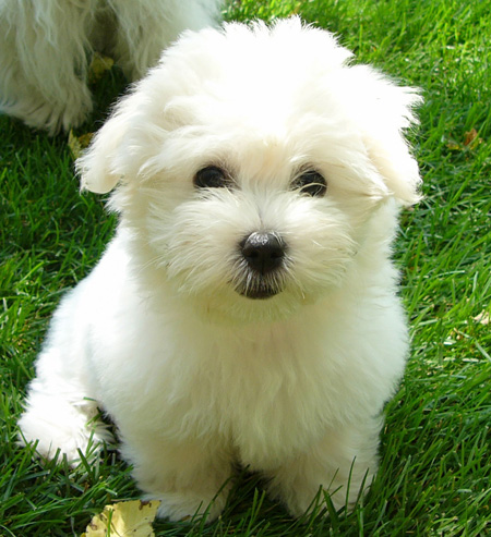 Francie the Coton de Tulear Pictures 11693