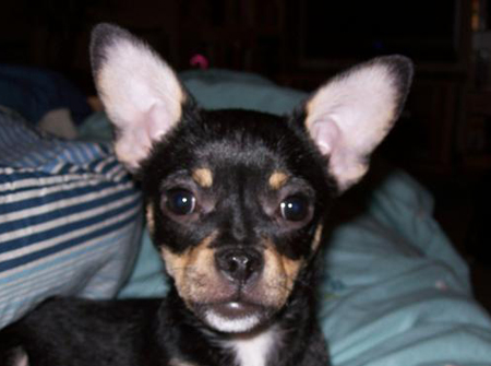 Halpert the Chihuahua Pictures 11329