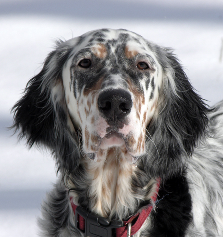 Hannah the English Setter Pictures 12413