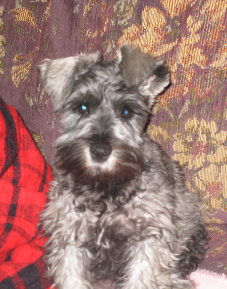 Hansel the Miniature Schnauzer Pictures 11271