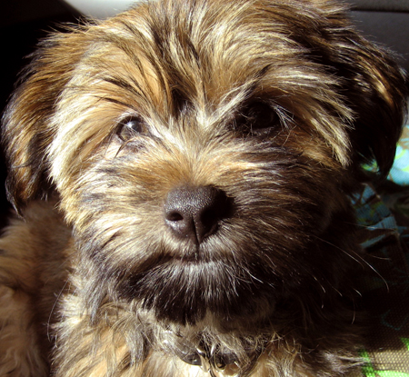Harley the Silky Terrier/ Shih-Tzu mix Pictures 12428