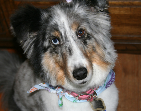 Jezebel the Collie/ Sheltie mix Pictures 11333