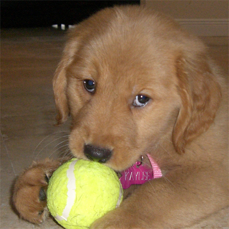Kaylee the Golden Retriever Pictures 11166