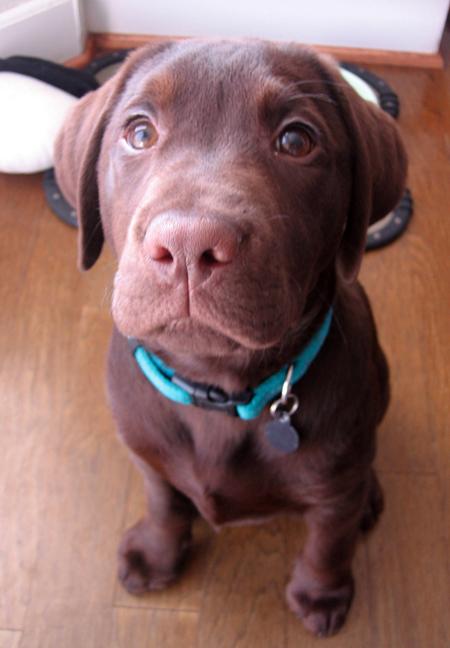 Kobe the Labrador Retriever Pictures 12480