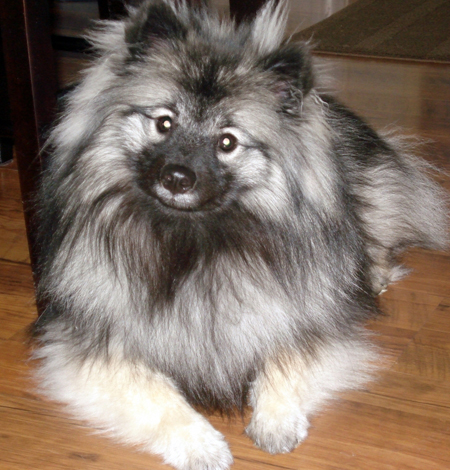 Kora the Keeshond Pictures 11521