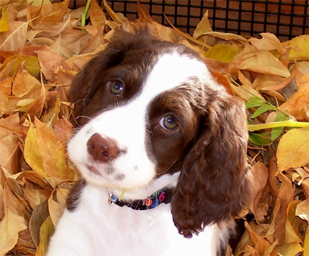 Luna the English Springer Spaniel Pictures 11147