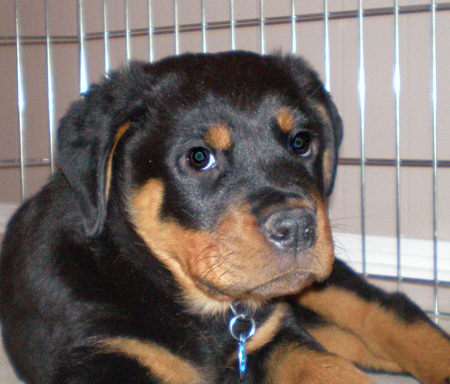 Madden the Rottweiler Pictures 11900