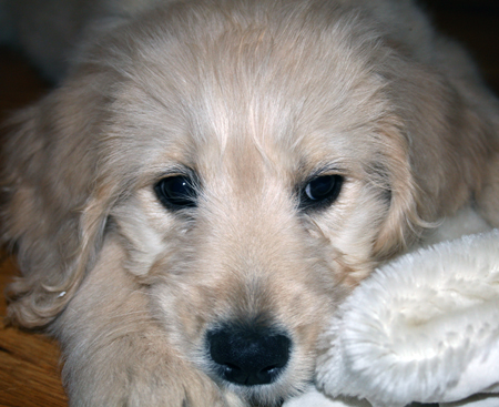 Mogley the Standard English Goldendoodle Pictures 11815
