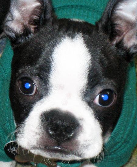 Otis the Boston Terrier Pictures 11464