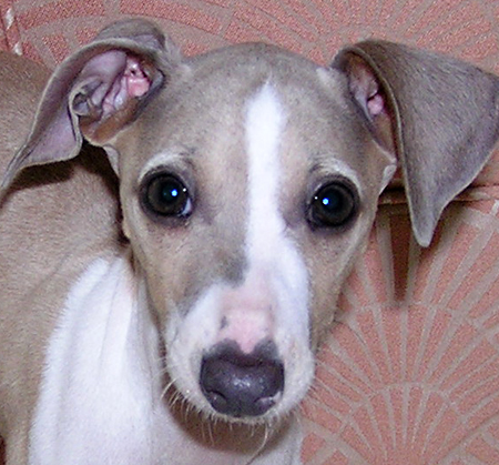 Remi Bella the Italian Greyhound Pictures 11641