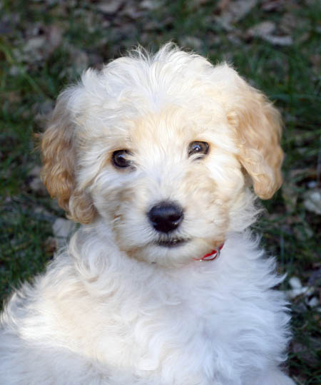 Sierra the Goldendoodle Pictures 12090