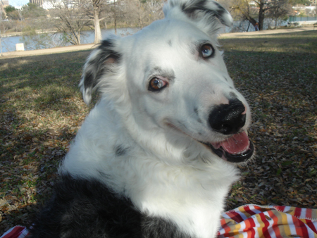 Sky the Australian Shepherd Dalmatian Mix Pictures 11289