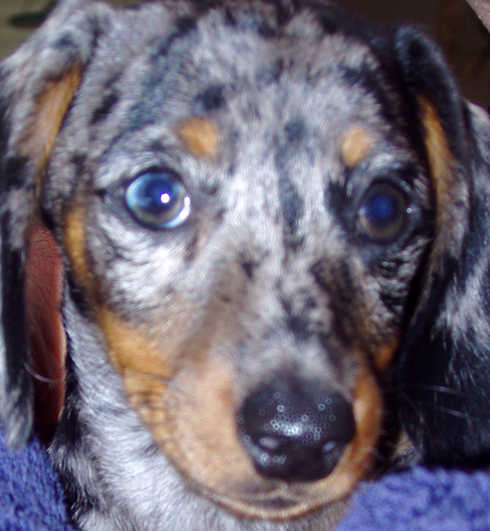 Skye the Miniature Dachshund Pictures 11376