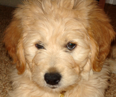 Toby the Goldendoodle Pictures 11625